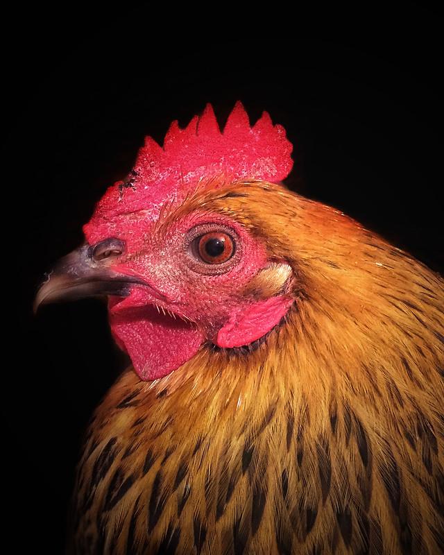 poultry-bird-hen-chicken-cockerel 图片素材