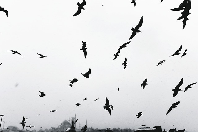 bird-crow-goose-flight-wildlife picture material