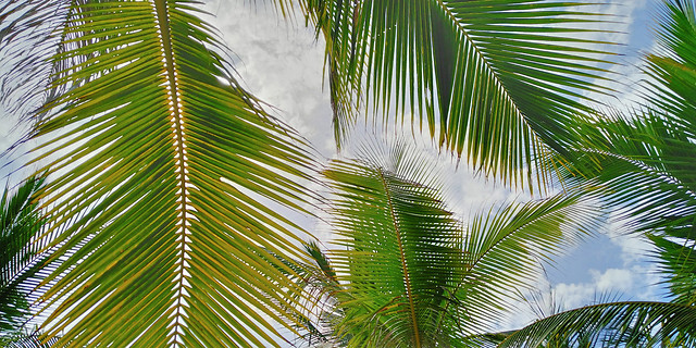 palm-tropical-coconut-summer-frond picture material
