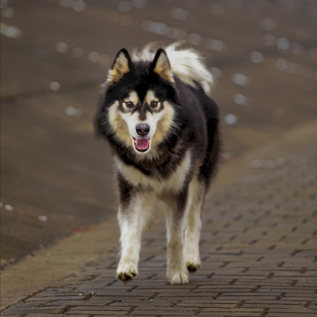 dog-canine-mammal-portrait-wolf picture material