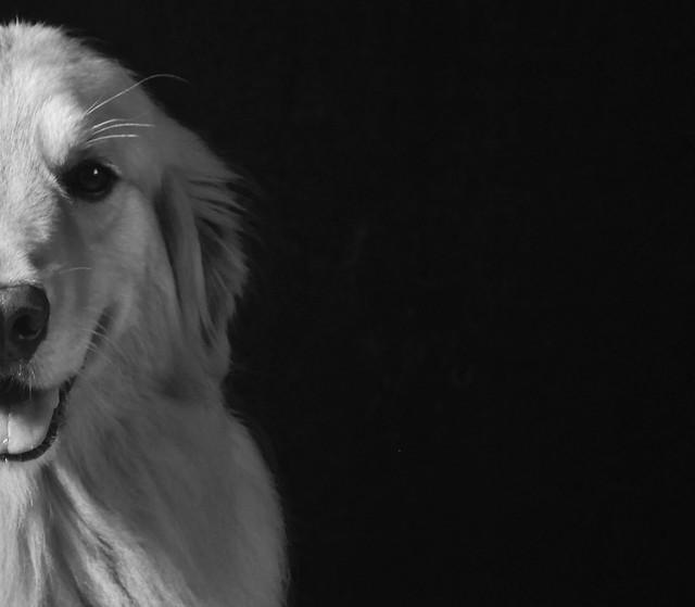 dog-portrait-one-studio-monochrome picture material