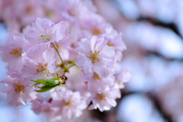 flower-nature-cherry-flora-branch picture material