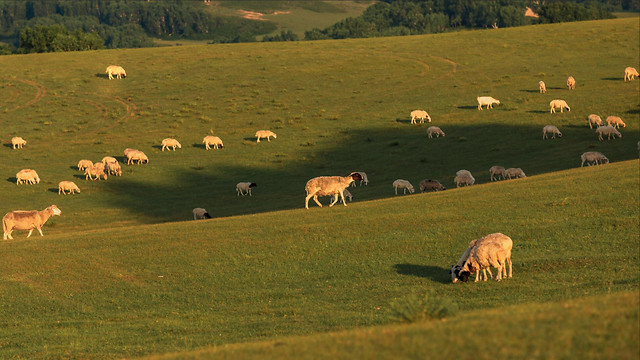 sheep-farm-mammal-grass-agriculture picture material