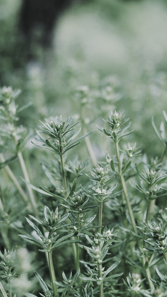 nature-leaf-herb-flora-food picture material