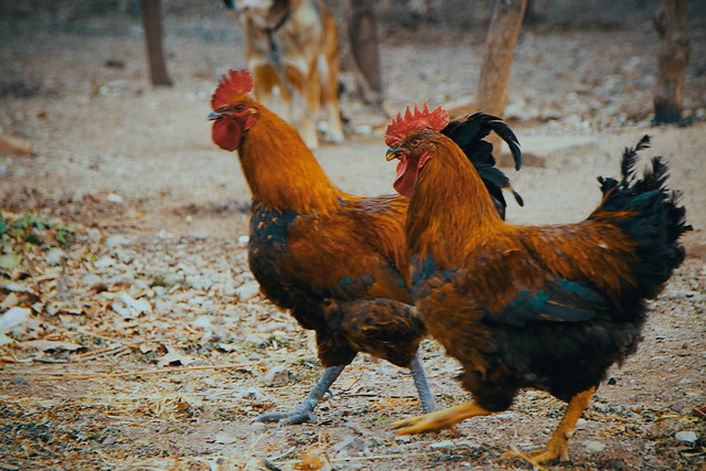 poultry-bird-chicken-animal-farm 图片素材