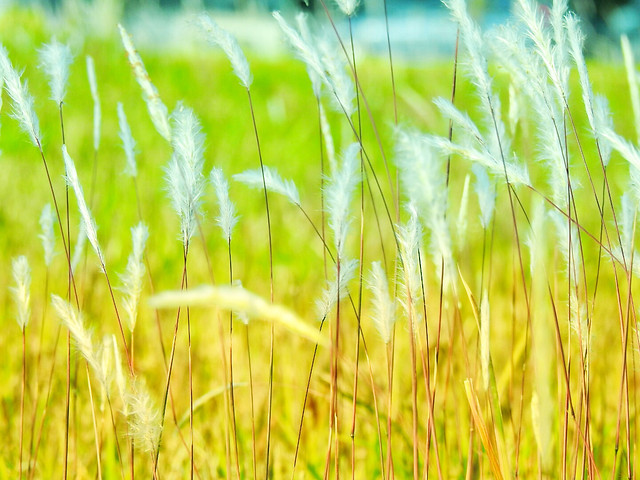 cereal-field-growth-wheat-rural picture material