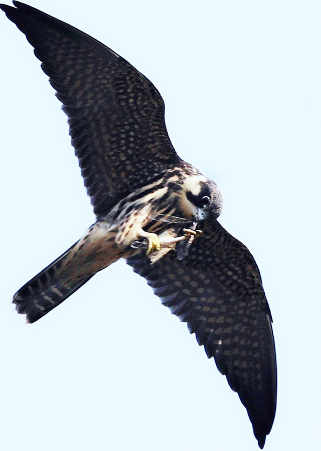 raptor-bird-eagle-hawk-falcon picture material