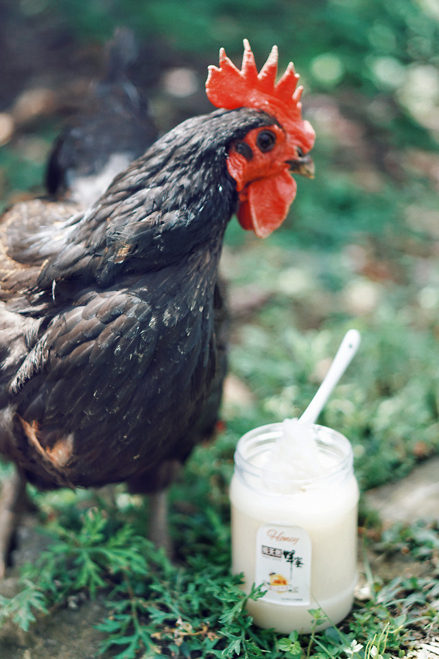 no-person-nature-chicken-outdoors-bird 图片素材