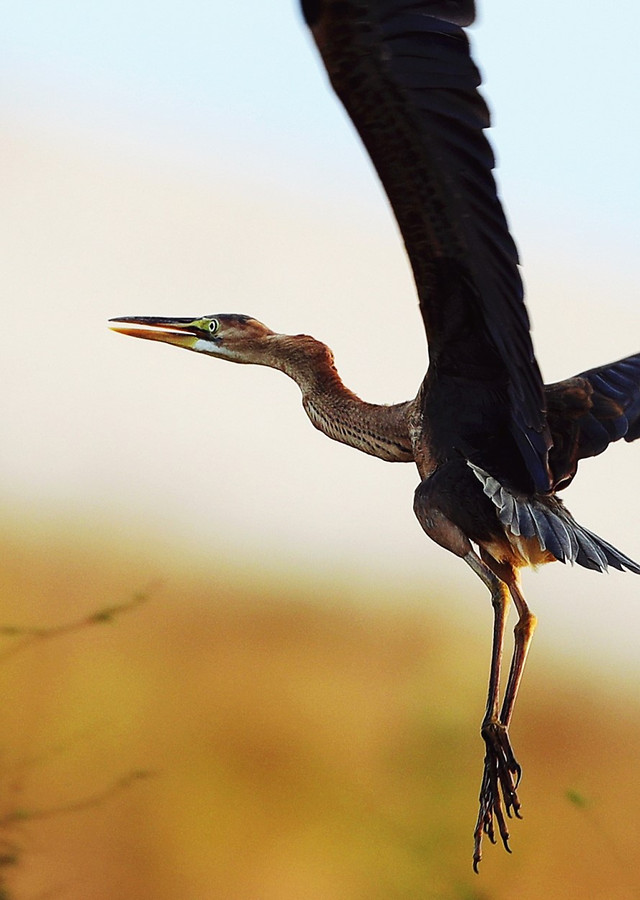 bird-wildlife-no-person-heron-nature 图片素材