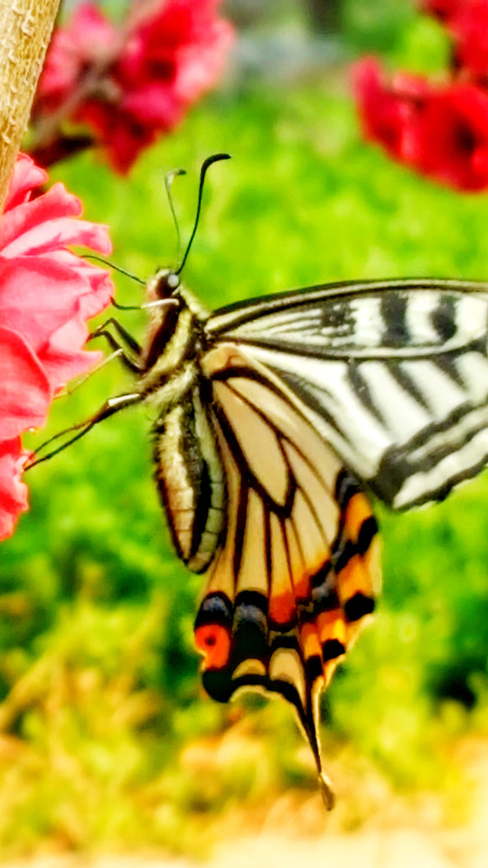 butterfly-insect-nature-wing-flower picture material