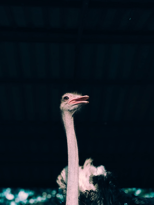 bird-feather-wildlife-neck-ostrich picture material