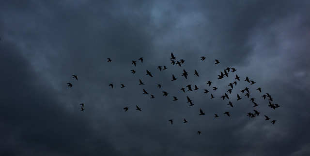 bird-flight-goose-sky-wildlife picture material