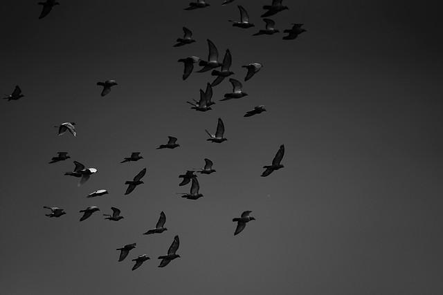 bird-flight-goose-fly-wildlife picture material