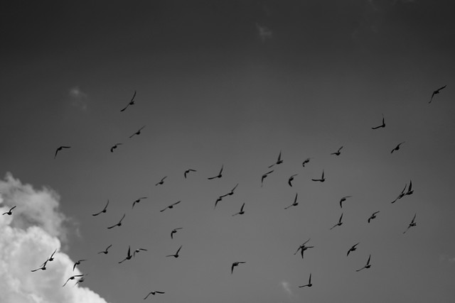 bird-flight-goose-seagulls-fly picture material