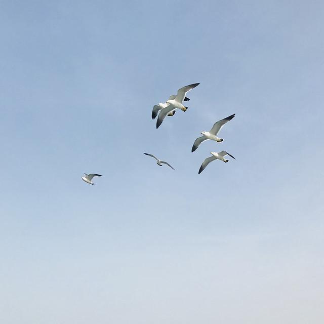 bird-seagulls-wildlife-flight-nature picture material