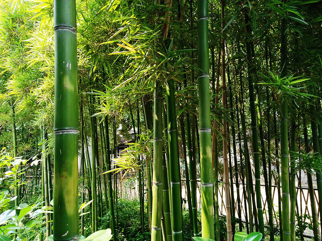 bamboo-leaf-lush-zen-nature picture material