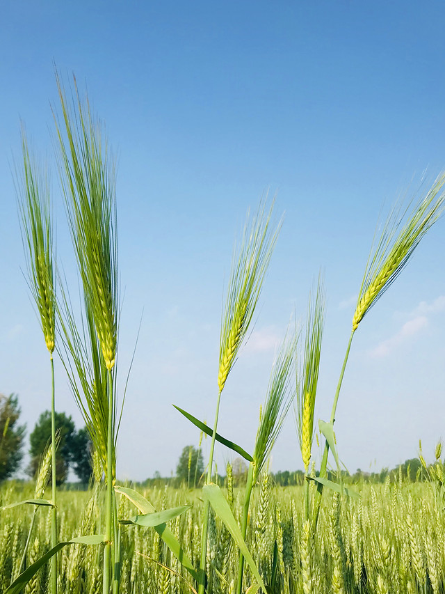 cereal-wheat-pasture-rural-field picture material