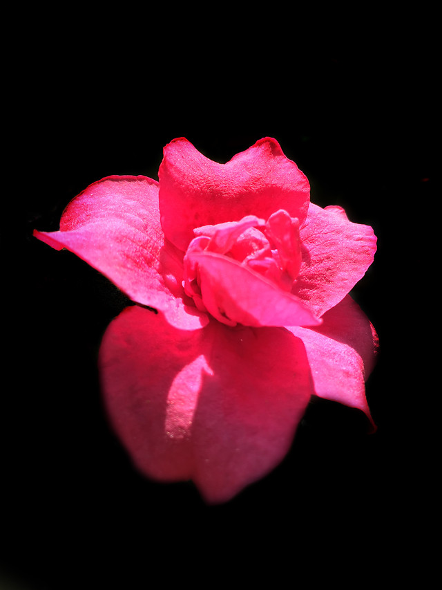 flower-no-person-nature-rose-red picture material