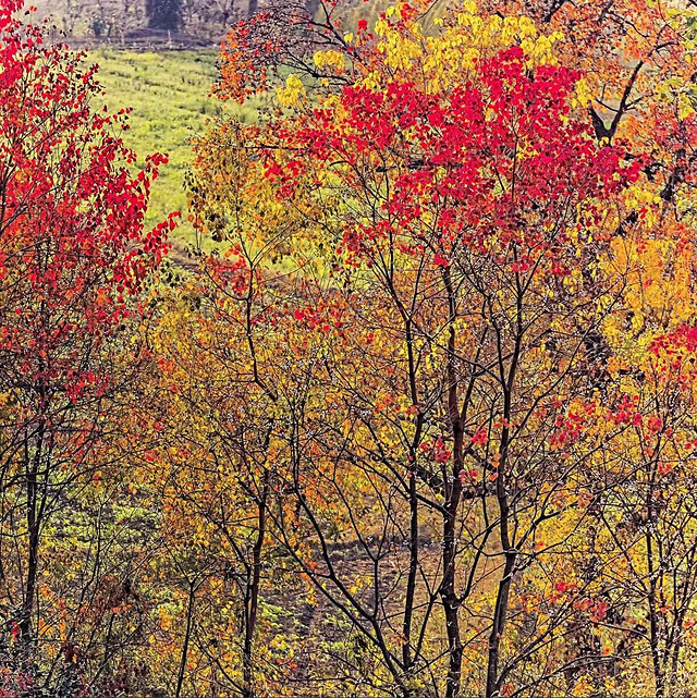 fall-leaf-tree-maple-nature 图片素材