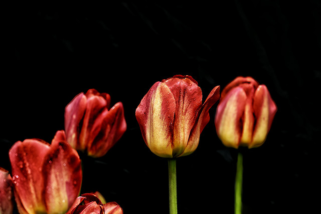 tulip-flower-no-person-nature-flora 图片素材
