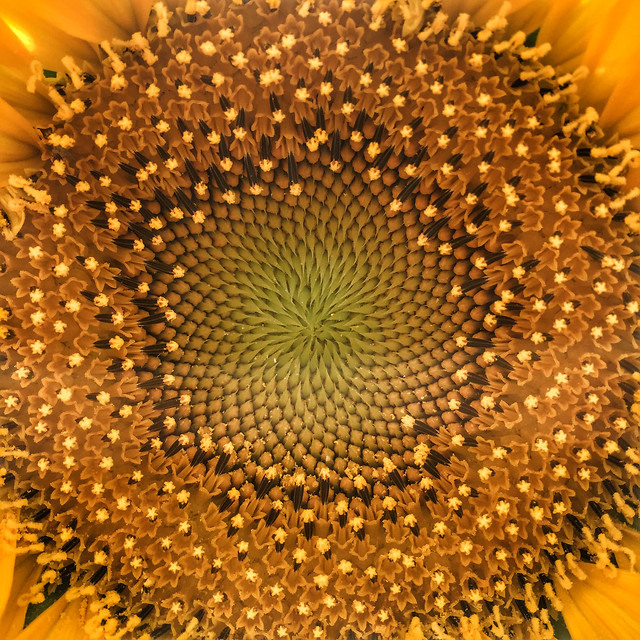 sunflower-bright-round-out-no-person-flower picture material