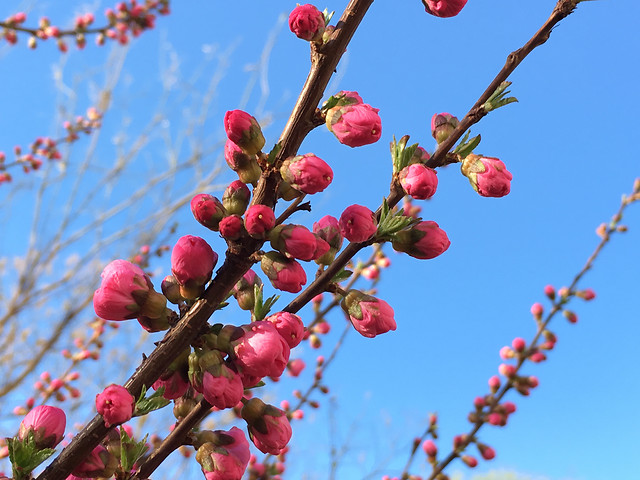 branch-tree-nature-flower-season picture material