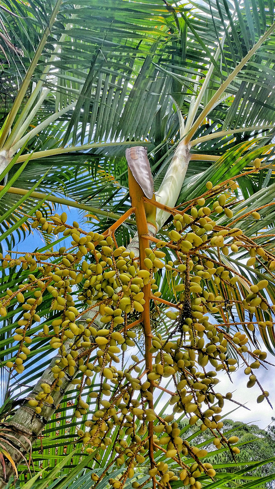 palm-tropical-tree-exotic-nature picture material