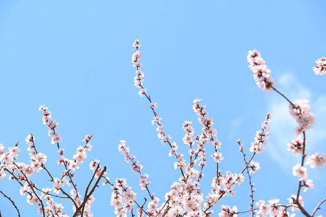 cherry-flower-no-person-branch-nature picture material