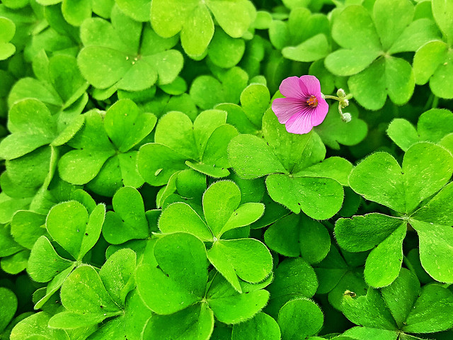 clover-leaf-white-clover-flora-garden picture material