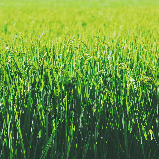 field-growth-grass-farm-cereal picture material