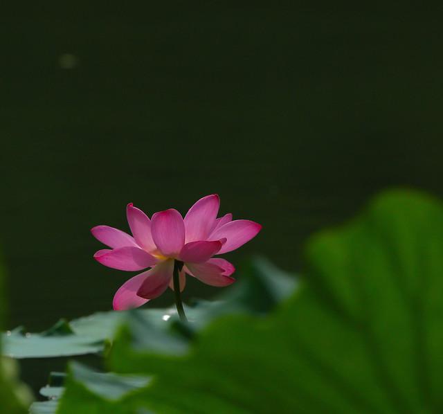 lotus-pool-flower-leaf-waterlily 图片素材
