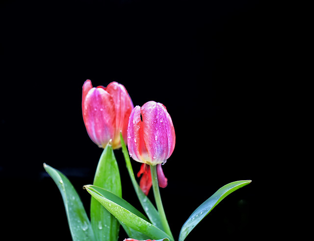 tulip-flower-nature-flora-color picture material