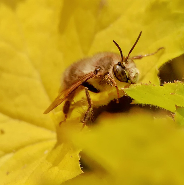 insect-nature-bee-honey-bee-animal picture material