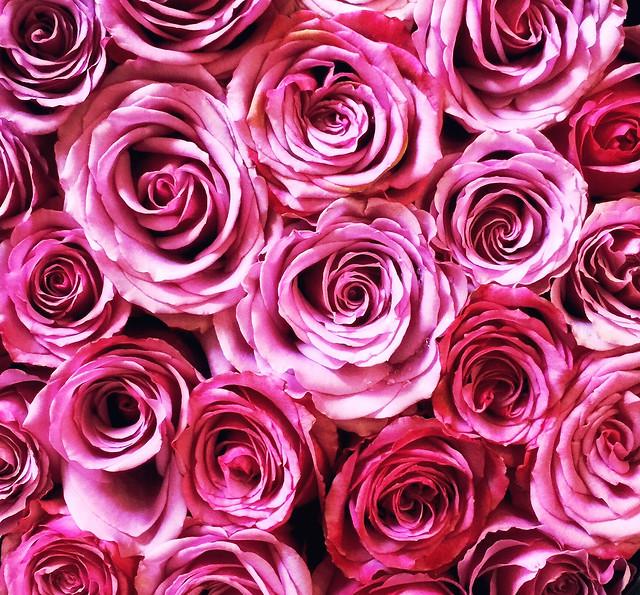 rose-floral-petal-flower-romance picture material