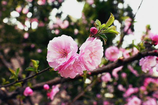 flower-nature-tree-branch-cherry picture material
