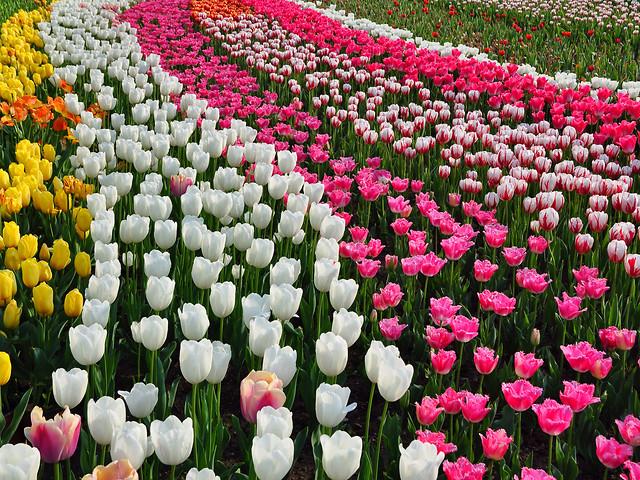 tulip-flower-garden-flora-nature picture material