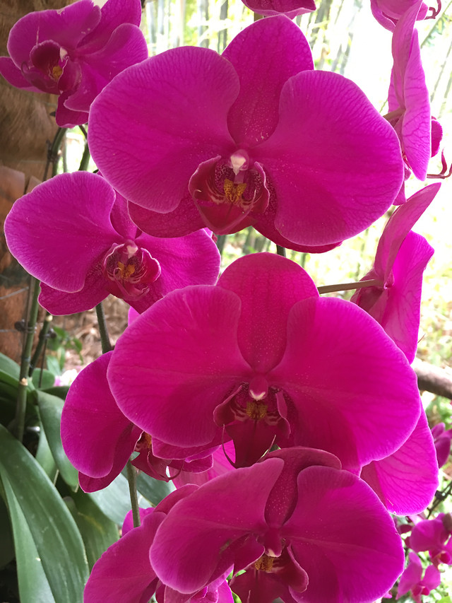 flower-phalaenopsis-tropical-flora-exotic picture material