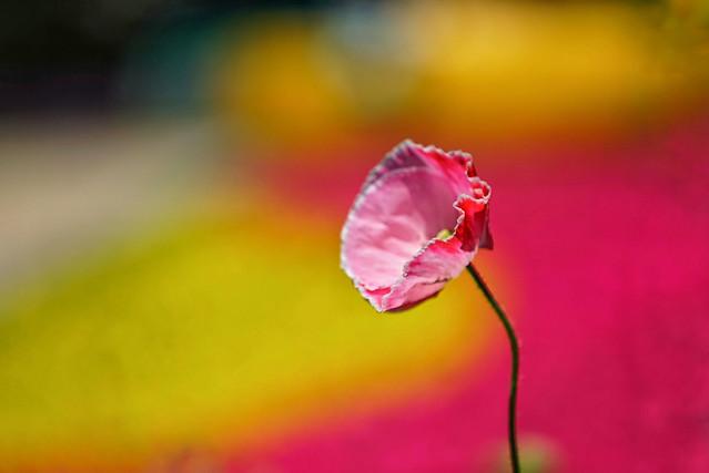 nature-flower-leaf-flora-summer picture material