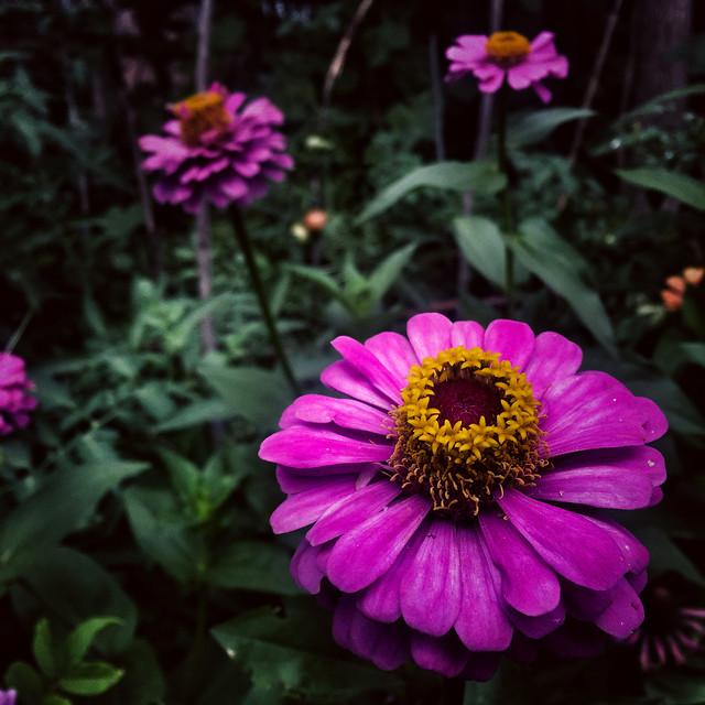 flower-nature-garden-flora-summer picture material