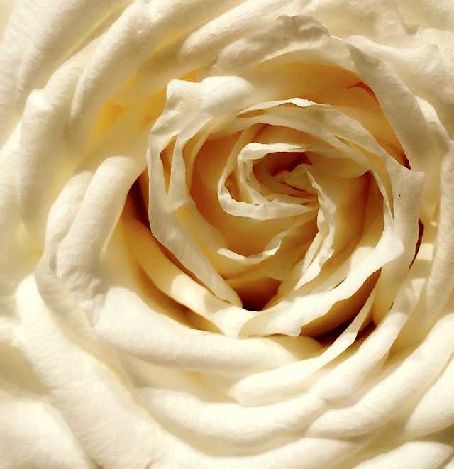rose-anniversary-wedding-love-flower picture material
