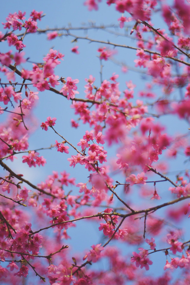 cherry-branch-flower-tree-nature picture material