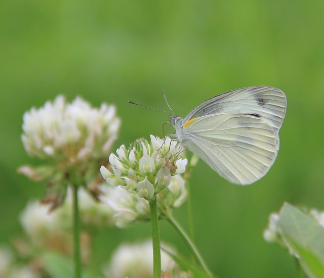 butterfly-nature-insect-summer-flower picture material