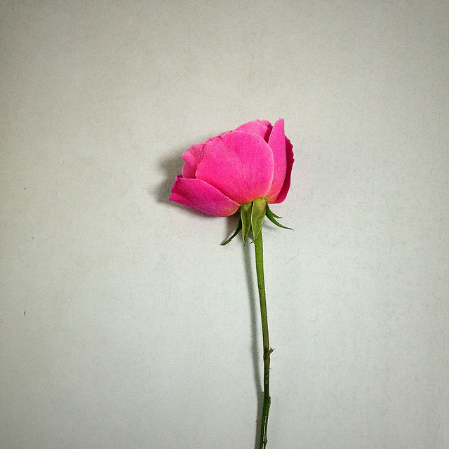 flower-no-person-love-rose-still-life picture material