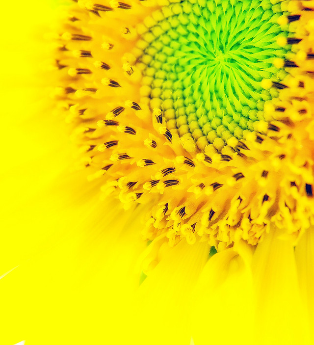 nature-flower-no-person-bright-sunflower picture material