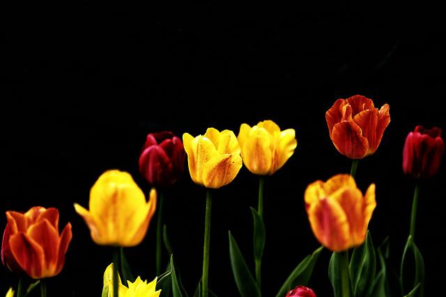 nature-tulip-no-person-flower-bright 图片素材