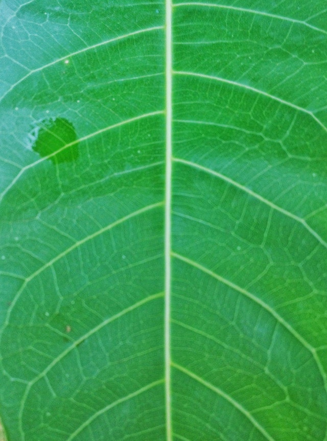 leaf-flora-nature-growth-photosynthesis picture material