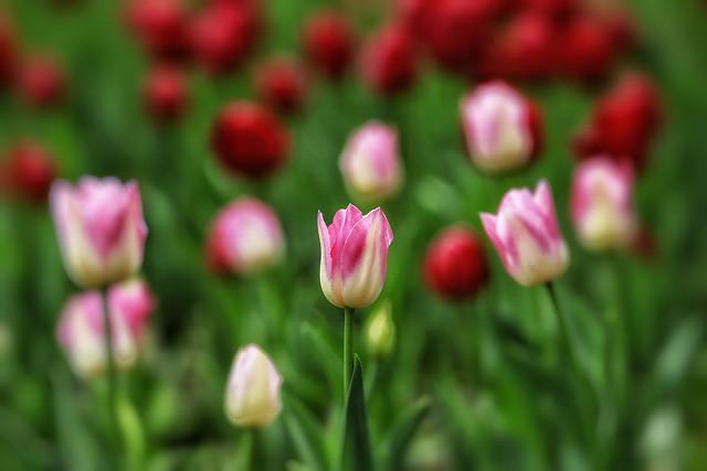 nature-tulip-flower-summer-garden 图片素材